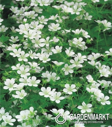 geranium storchschnabel wei 1 st. Black Bedroom Furniture Sets. Home Design Ideas