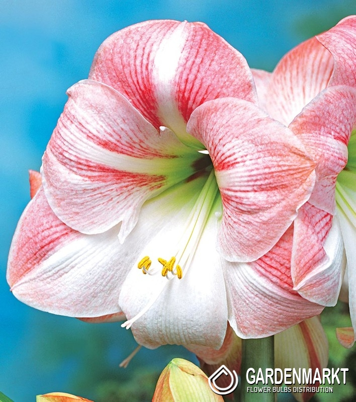 hippeastrum amaryllis apple blossom 1 st hippeastrum. Black Bedroom Furniture Sets. Home Design Ideas