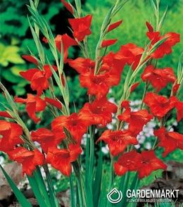 5 Winterharte Zwerggladiole Atom Gladiolus nanus