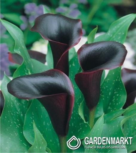 Top Ein Diva für den Garten - die Calla Zantedeschia - Gardenmarkt.de #HY_18